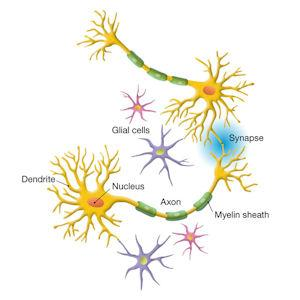 In the nervous system, networks of nerve cells send signals thoughout the body. Signals that cross the synapse from one cell to another have been thought to be the main form of communication, but new research shows neurons emit signals from the axon as well.  Courtesy image.